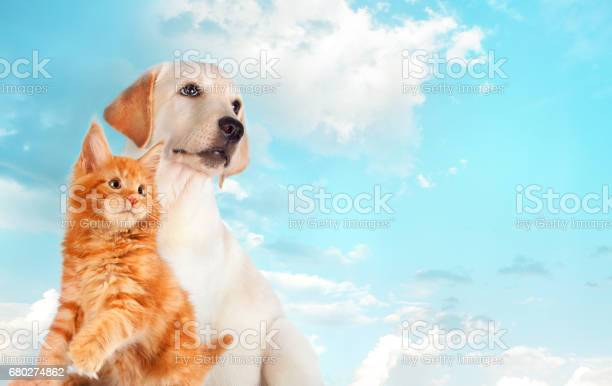 Cat and dog together maine coon kitten golden retriever looks at picture id680274862?b=1&k=6&m=680274862&s=612x612&h=fe36varaauhm7jxb ry 2kfbupfevowqtcrcrozc8ns=