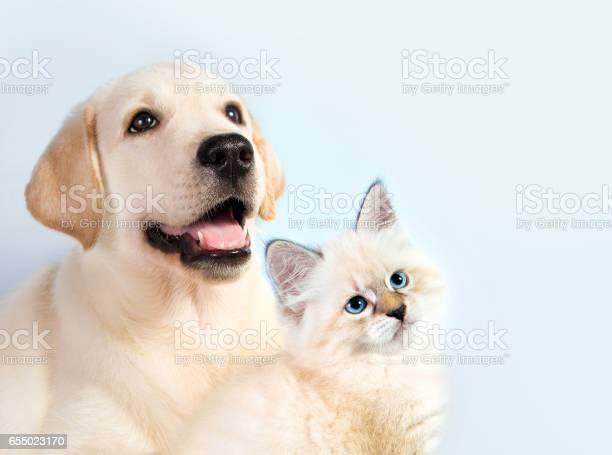 Cat and dog together neva masquerade kitten golden retriever looks at picture id655023170?b=1&k=6&m=655023170&s=612x612&h=zahuhu6 mv4zb0dg7bgyfkagbkeekreufdsfyydircw=