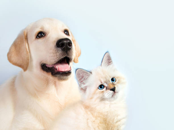 Cat and dog together neva masquerade kitten golden retriever looks at picture id655023170?b=1&k=6&m=655023170&s=612x612&w=0&h=e6luonmj cuz4jtsx25xak5l7pjj8dmcyz0zzlqlccs=
