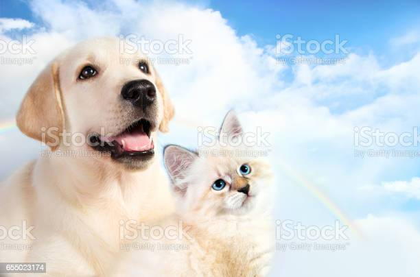 Cat and dog together neva masquerade kitten golden retriever looks at picture id655023174?b=1&k=6&m=655023174&s=612x612&h=whxdrjugjj1v4pqj78osp nvbxfb8ld1bvno788757u=