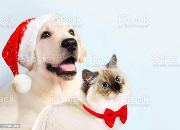 Cat and dog together neva masquerade kitten golden retriever looks at picture id872048166?b=1&k=6&m=872048166&s=612x612&h= ltnqfap4vfy sal4vrzbqwsk8rwfpsgearyqiewepk=