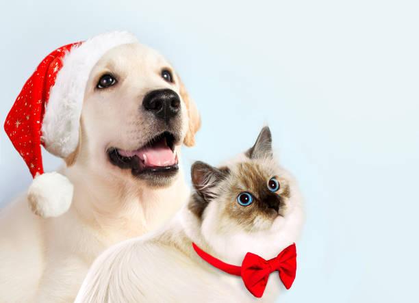 hund und katze zusammen, neva masquerade kätzchen, golden retriever schaut recht. welpe mit weihnachtsmütze und bogen. neujahr-stimmung - katze weihnachten stock-fotos und bilder