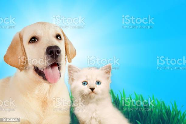 Cat and dog together neva masquerade kitten golden retriever looks at picture id991030062?b=1&k=6&m=991030062&s=612x612&h=avfut8u9ta85lgfyoktmeteuxmx4kgdsbcnz2keoqjk=