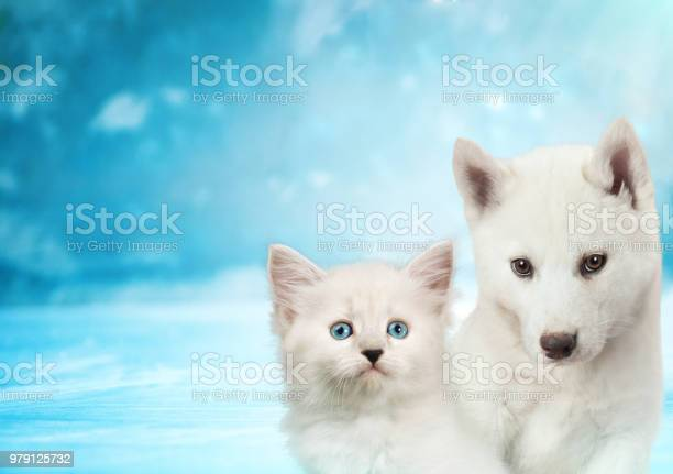 Cat and dog together neva masquerade kitty siberian husky puppy look picture id979125732?b=1&k=6&m=979125732&s=612x612&h=xnanfahth80drykigmkrv 84mae5 09u8fjgsg9inys=