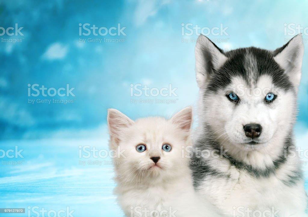 Cat and dog together , neva masquerade kitty, siberian husky puppy...