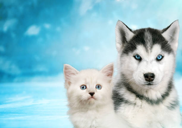 Cat and dog together neva masquerade kitty siberian husky puppy look picture id979127970?b=1&k=6&m=979127970&s=612x612&w=0&h=efjerxltijtx6j85afibw1s9fzyn0dsikurfajcpiim=