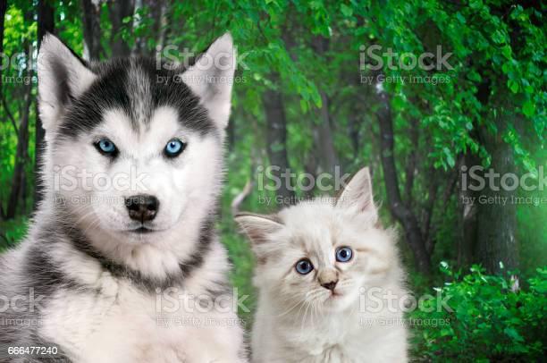 Cat and dog together neva masquerade siberian husky looks straight in picture id666477240?b=1&k=6&m=666477240&s=612x612&h=fdxb dne3iieaw2squpmaxfpqutrgirv7ratwmjq7e8=