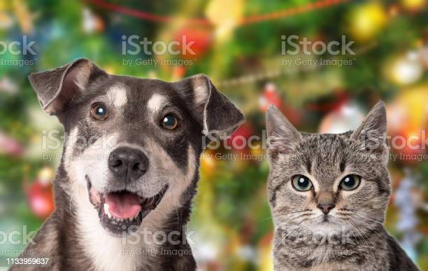 Cat and dog together on the christmas background picture id1133959637?b=1&k=6&m=1133959637&s=612x612&h=i2t1p2f406jkbxvkd4bpovyckr yivrqfmioaqgde w=