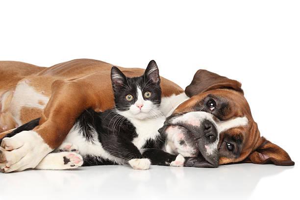 kot i pies razem - bokser pies zdjęcia i obrazy z banku zdjęć