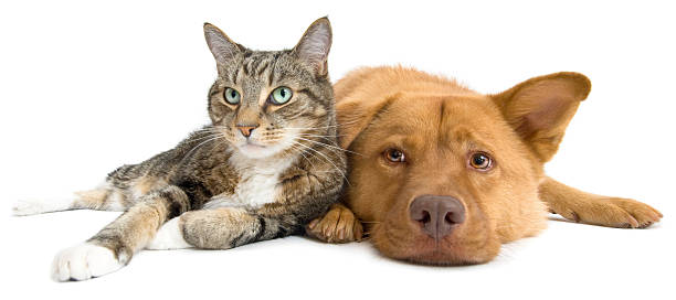 Cat and Dog together wide angle stock photo