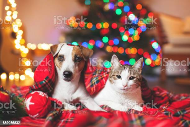 Cat and dog under a christmas tree picture id889086832?b=1&k=6&m=889086832&s=612x612&h=ht6fje6mkxnjszvlibfcilnis0rbwr4etwyggovbq64=