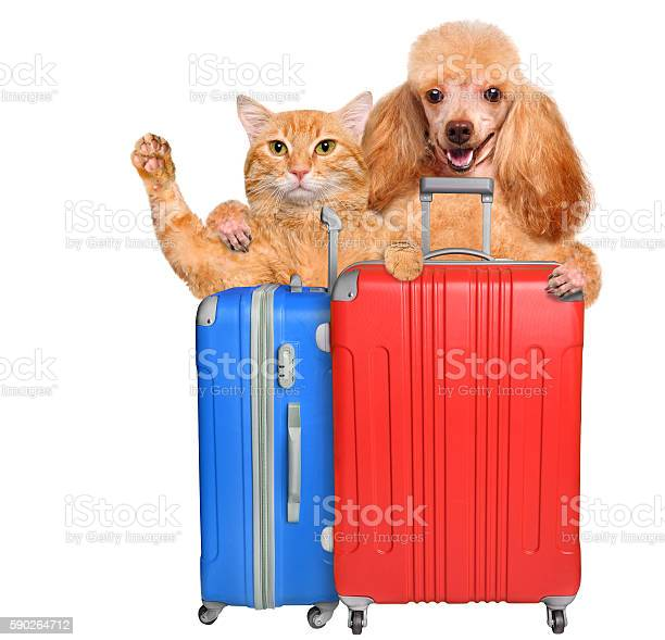 Cat and dog with a suitcases picture id590264712?b=1&k=6&m=590264712&s=612x612&h=tt5aksosdyv1fji17jqmqmyenb2rd04ia06rwz5151w=