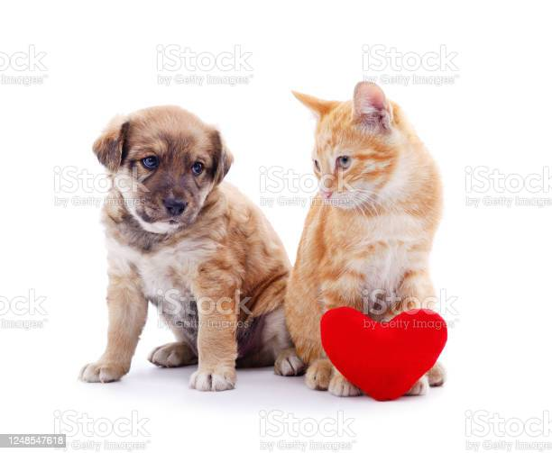 Cat and dog with a toy heart picture id1248547618?b=1&k=6&m=1248547618&s=612x612&h=mayv3maen8gqchwe1dig6cvpl5nclk8tylgw3gkqhoo=