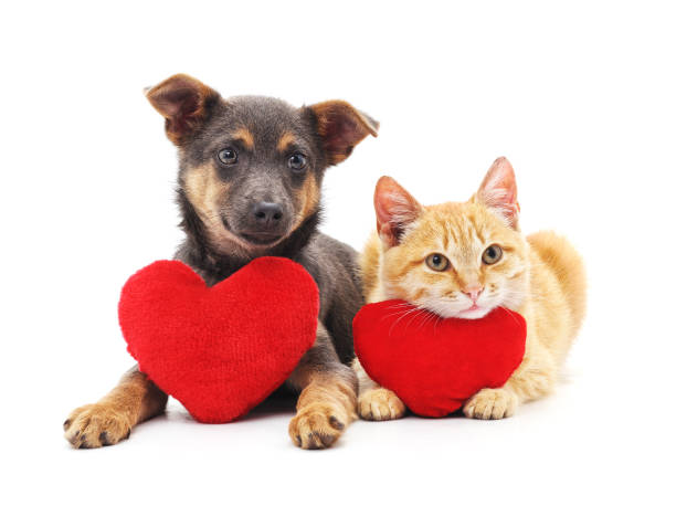 cat and dog with red hearts. - valentines day стоковые фото и изображения