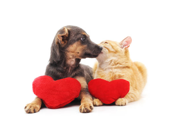 Cat and dog with red hearts. Cat and dog with red hearts isolated on a white background. kitten cute valentines day domestic cat stock pictures, royalty-free photos & images