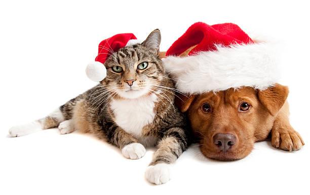 katze und hund mit weihnachtsmann mützen santas - katze weihnachten stock-fotos und bilder