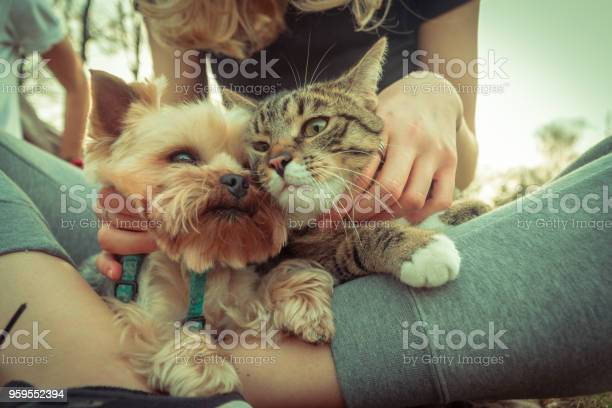 Cat and dog yorkshire terrier sits next to the cat picture id959552394?b=1&k=6&m=959552394&s=612x612&h=7xgxvpph4ffaiew5iy3or34mhb wirnwabw4q8udr s=