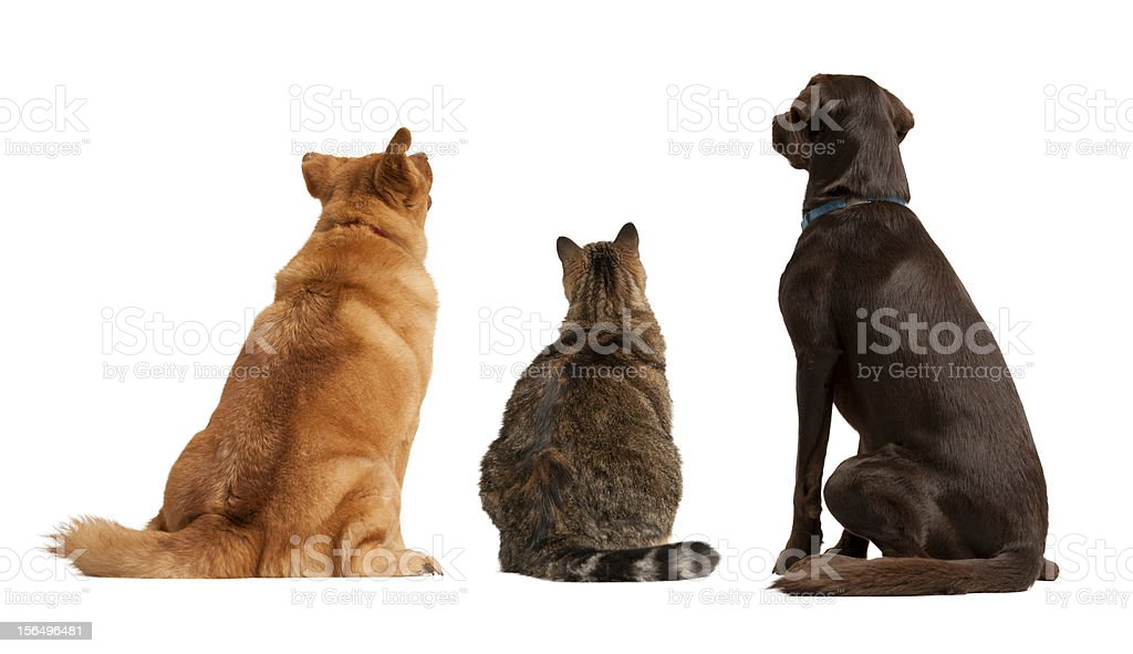 Cat and dogs looking up royalty-free stock photo