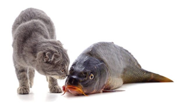 Cat and fish picture id1214982466?b=1&k=6&m=1214982466&s=612x612&w=0&h=7pl6t6rlh0 swfxhmcqinmnicablhwzrwwiwpjkulyc=