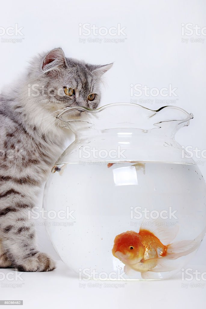 Cat and gold fish royalty-free stock photo