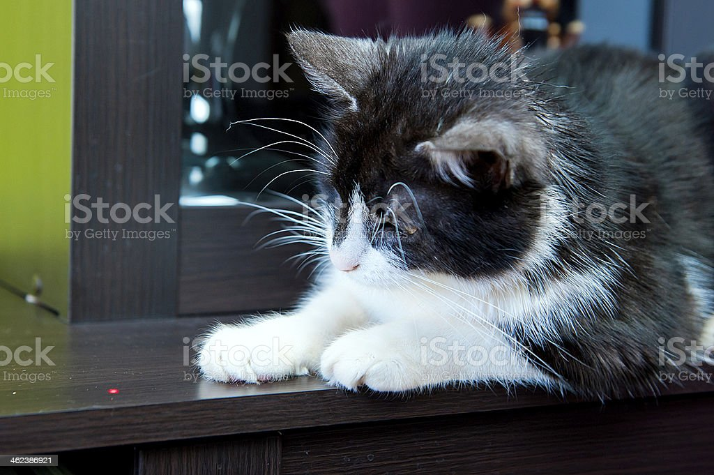 Cat and laser dot stock photo