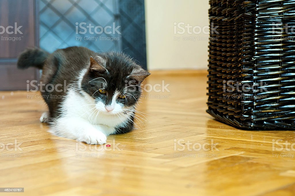 Cat and laser pointer stock photo