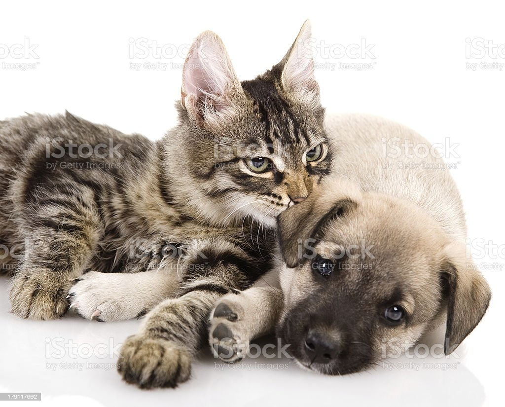 A cat and laying on a dog's side on a white background royalty-free stock photo