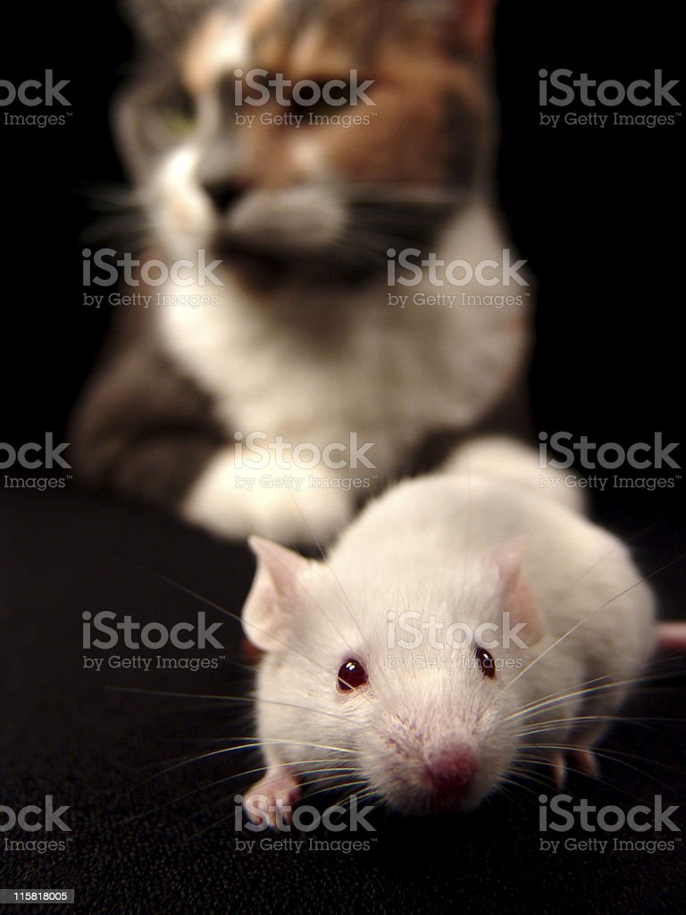 Cat and Mouse Game royalty-free stock photo