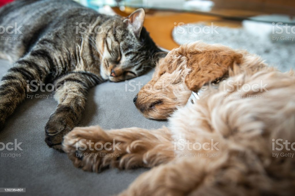 Cat and New Puppy Asleep Together on the Couch - Foto stock royalty-free di Accogliente