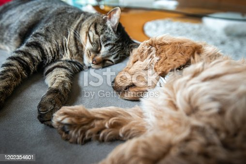 New cute 8 week old caramel colored puppy is sleeping on the couch with the house cat.  They are holding hands or paws.