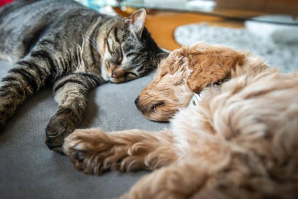 gato y nuevo cachorro dormidos juntos en el couch - dog fotografías e imágenes de stock