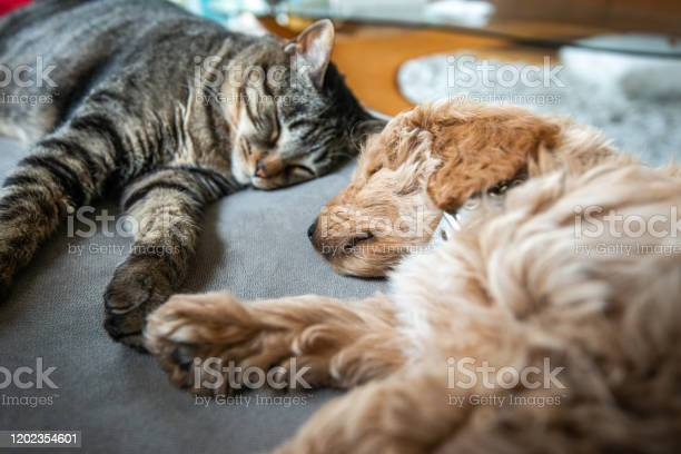 Cat And New Puppy Asleep Together On The Couch - Fotografie stock e altre immagini di Accogliente
