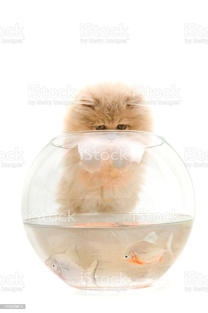 cat and piranha royalty-free stock photo