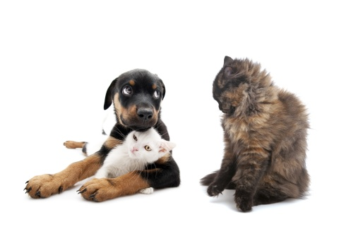 angry cat and little rottweiler