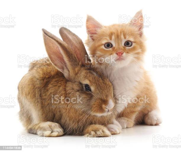 Cat and rabbit picture id1144941838?b=1&k=6&m=1144941838&s=612x612&h= crf1gfzvt fsusyvab0q77crscigwto9jgpgoc7mgw=