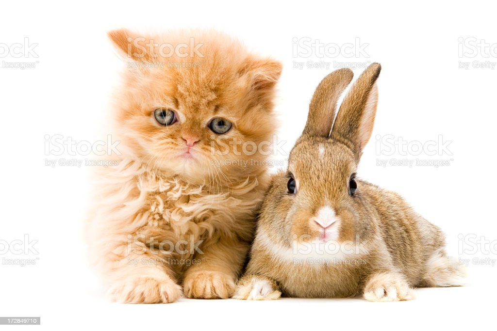 cat and rabbit royalty-free stock photo