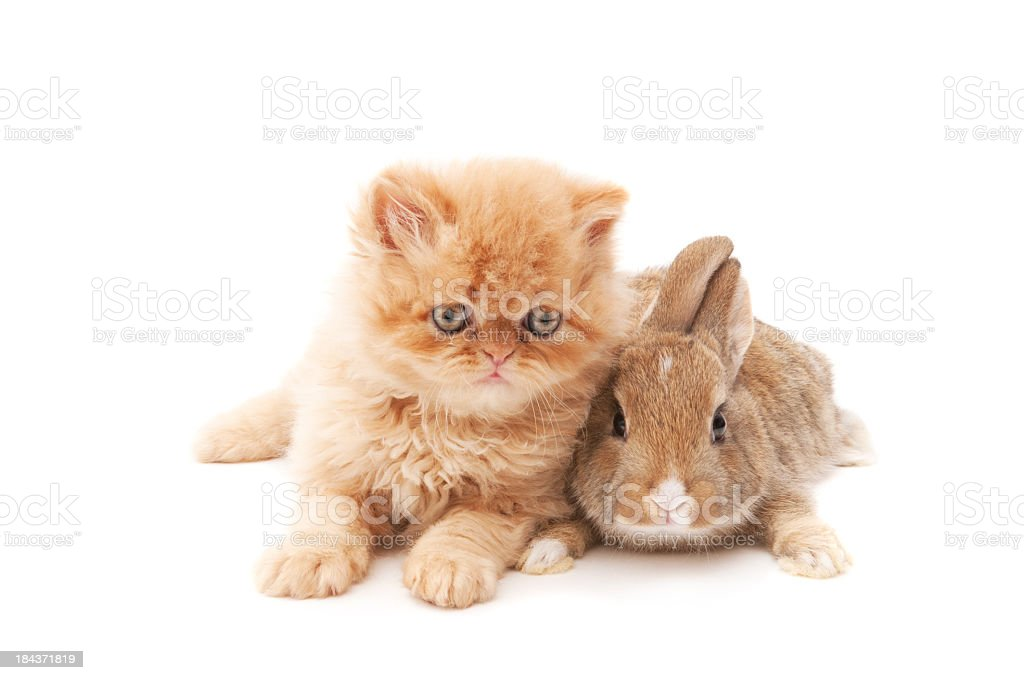cat and rabbit royalty-free stock photo
