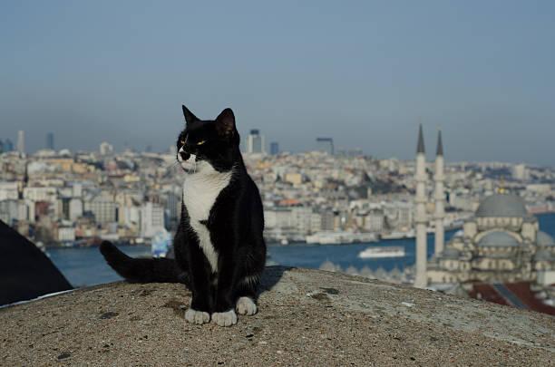 Cat and the istanbul picture id485550132?b=1&k=6&m=485550132&s=612x612&w=0&h=vuzjajgbsa8j2xkvtm044siydlfuujwj9gsgzqlj4hu=