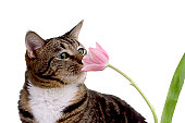 Gray chinchilla cat breed next to a bouquet of flowers in a modern kitchen interior