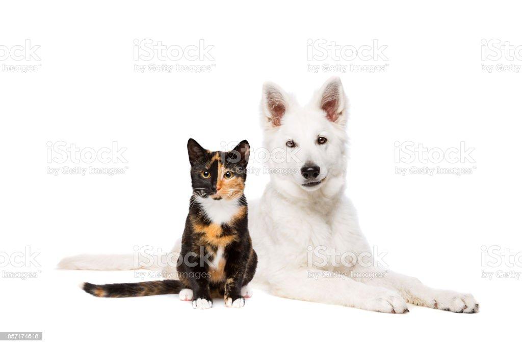 chiot chat et blanc - Photo