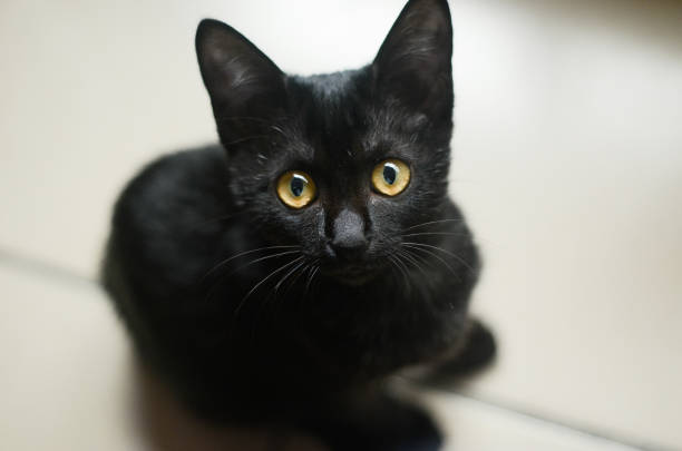 Cat animal pet kitten black picture id895324608?b=1&k=6&m=895324608&s=612x612&w=0&h=40p4l80hyeez8nctqfihaivzdayd7hlgeuhi4hmgkli=