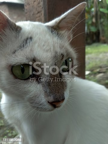 white cat animal with sharp eyes