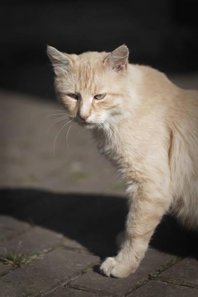 Cat animal portrait. Domestic pet kitten. Ginger feline. stock photo