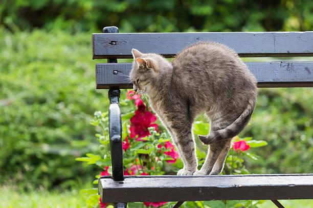 katze gewölbten sie wieder auf der bank im park - gedehnte ohren stock-fotos und bilder