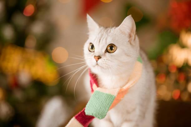eine katze auf weihnachten hintergrund - schal mit sternen stock-fotos und bilder