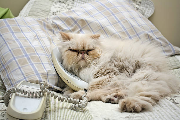 Cat at phone Persian cat on bed. animal call stock pictures, royalty-free photos & images