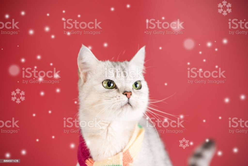 A cat at red background stock photo