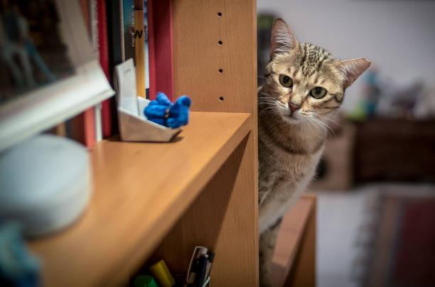 katze im bücherschrank - katzenschrank stock-fotos und bilder