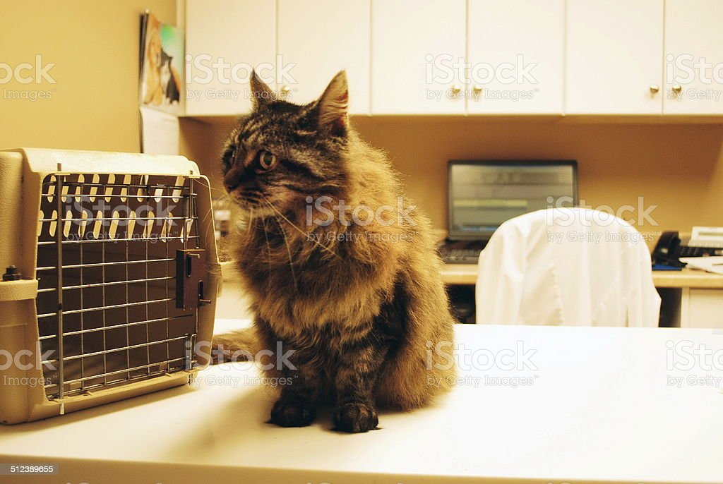 Cat at Vet stock photo