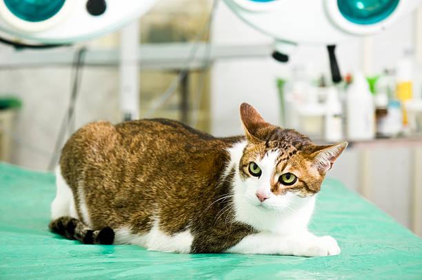 Cat at veterinarian stock photo